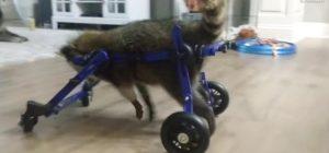 injured racoon wheelchair